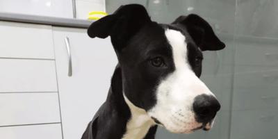 perra blanca y negra en adopcion