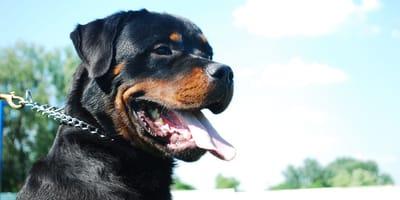 Rasselisten deutscher Bundesländer: Welche Hunde gelten wo als gefährlich?
