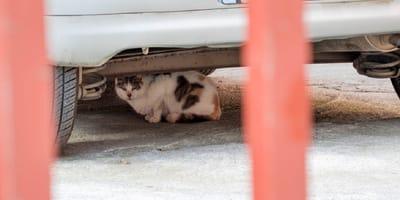 gato blanco y marron escondido bajo un coche