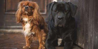 razze europee del cavalier king charles spaniel e cane corso