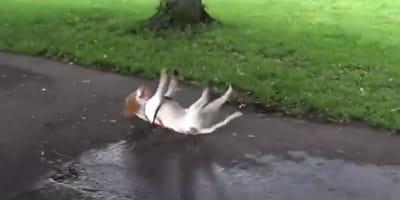 Pies biało rudy mdleje