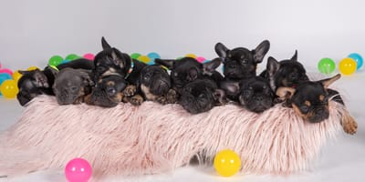 French Bulldog gives birth to record breaking number of puppies