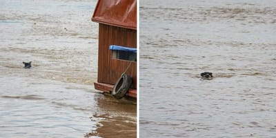 perro arrastrado corriente rio