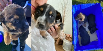 Montage of puppies saved by police in Goodyear, AZ