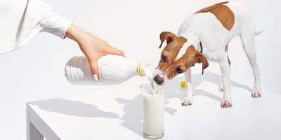 Czy pies może pić mleko? Czy jest dla niego zdrowe?