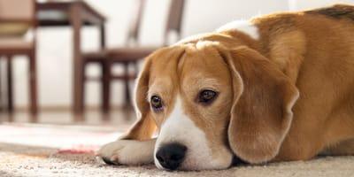 Trauriger Beagle