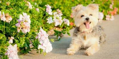 Il cane Morkie, l'incrocio tra Maltese e Yorkshire Terrier