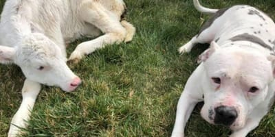 Pitbull approaches blind calf: What happens next leaves everyone stunned
