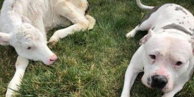Calf and pitbull