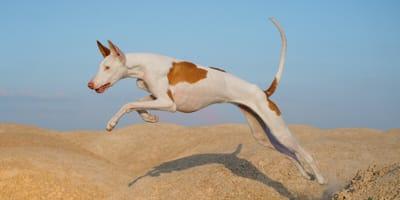 Pies rasy podenco na plaży.