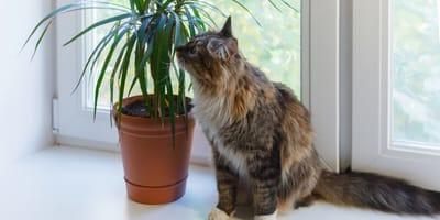 Czy dracena jest trująca dla kota?