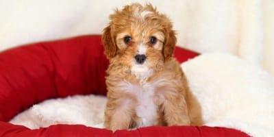 Prenota un cucciolo di Cavapoo su Internet, poi la delusione