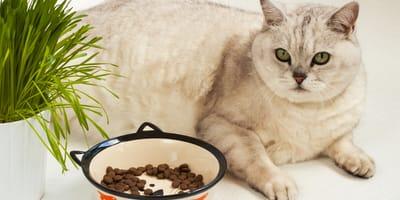 gato esterilizado comiendo el pienso adecuado