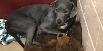 Welpe im Tierheim klammert sich an Teddy: Der Grund ist erschütternd