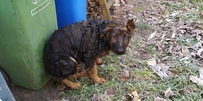 cachorro de pastor aleman manchado frente a unos cubos de basura