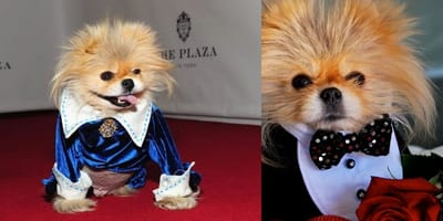 Montage of Pomeranian Giggy dressed up to the nines