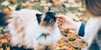 gato persa esterilizado comiendo