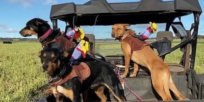 Watch: Cattle dogs get tiny cowboys and the results are hysterical
