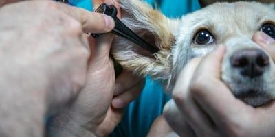 perrito veterinario