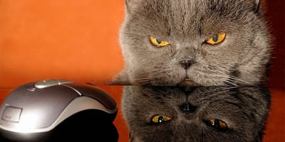 gato enfadado mirando raton de ordenador