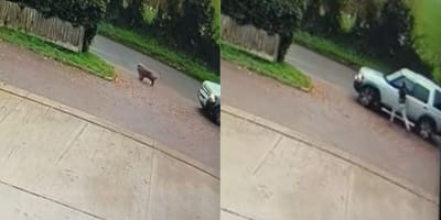 WATCH: Shocking CCTV catches moment thieves steal Chow Chows Bonnie and Clyde