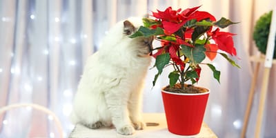 White cat smelling a Christmas plant