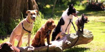 A pack of dogs sit on a log