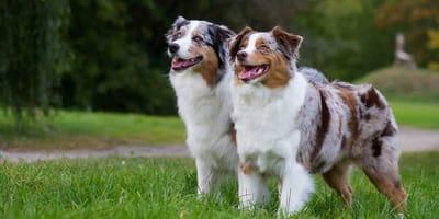 Zwei Australian Shepherds auf der Wiese