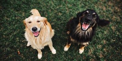 perros grandes mas inteligentes