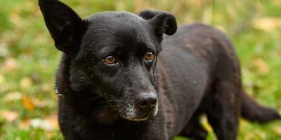 cane-nero-sull-erba