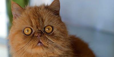 gatto rosso con grandi occhi