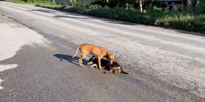 Cane randagio aiuta un suo simile ferito e lo salva (Video)