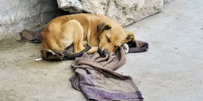 Homeless dog with blanket
