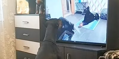 cane-davanti-alla-tv