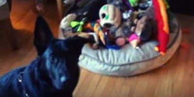 pastore tedesco nero con giochi per cani
