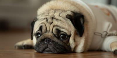 Traurige Hunde erkennen und wieder aufmuntern