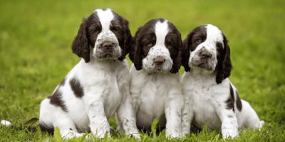 three springer spaniel puppies