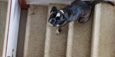 Bokser, który pomaga niewidomemu szczeniakowi zejść po schodach, zdobywa serca internautów!