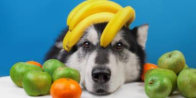 pies z owocami