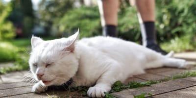 Biały kot leżący w bólu.