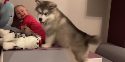 WATCH: Baby meets Alaskan Malamute puppy for the first time, and it's adorable