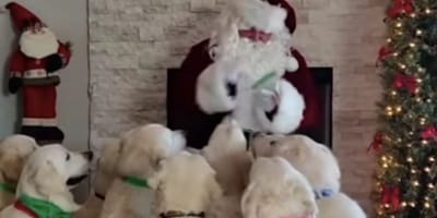 Dogs wait for treat from Santa