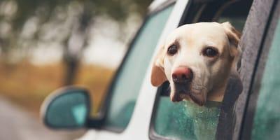 Mi perro se pone muy nervioso en el coche: ¡cálmalo con estos pasos!