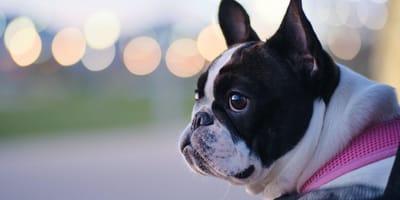 Französische Bulldogge: Namen für die Hunderasse