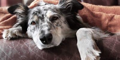 Torsión de estómago en perros: un síndrome que puede causarle la muerte si no tomas medidas