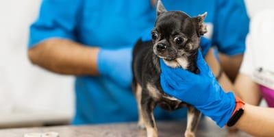 Glándulas anales perros: síntomas de inflamación, tratamiento y prevención