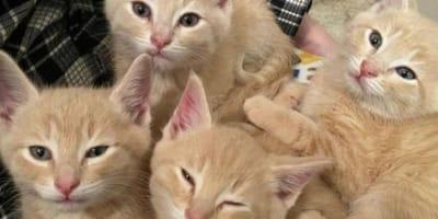 Four ginger kittens