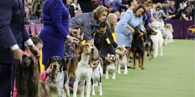 dogs lining up for show