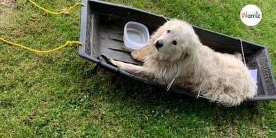 Encuentran un perro de los Pirineos en un trineo: ¡cuando descubren su trayectoria se ponen a llorar!