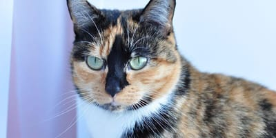 Cat owners may have to microchip their moggies from next year under new laws